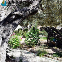 The Garden of Gethsemane 客西马尼园