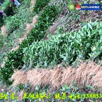 黄栀子树苗大量低价批发