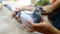 信鸽归巢的奥秘 The mystery of pigeon homing