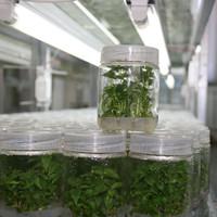 軟棗獼猴桃組培育苗