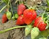 2月28日自驾中牟摘草莓,地锅鸡,腐败农家游走起!,宜泡温泉!
