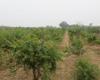 软籽石榴树苗