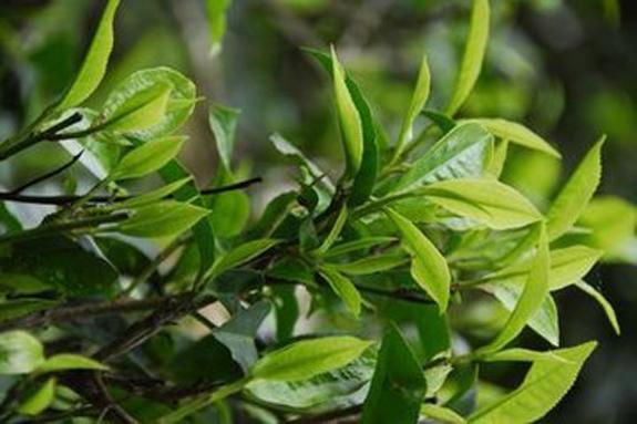 古劳茶树青芽和红芽制成的茶有什么区别?