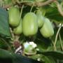 綠珍珠軟棗猕猴桃