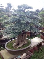 造型苗木,造型树